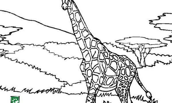 SW Coloring Giraffe
